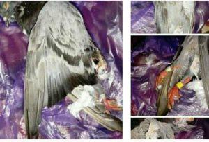 Burung Dara Mati Tertabrak, Pemilik Minta Ganti Rugi Rp2,5 Juta