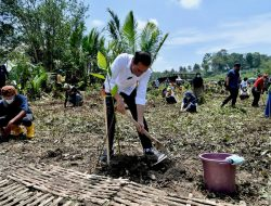 Jokowi Tanam Mangrove Bersama Warga Cilacap